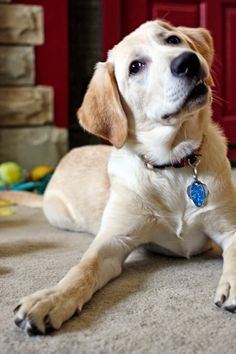 Holly is a Canine Companions for Independence puppy being raised in southwestern Ohio. @ccicanine #HeroLitter