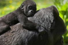 Oog in oog met gorilla's in Oeganda