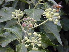 Hedera helix english ivy Araliaceae  Very invasive.