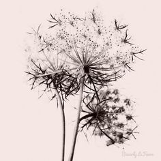 Anne queen anne's lace nature fine art by BeverlyLeFevre on Etsy, $20.00
