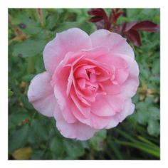 Pretty Pink Flowering Rose Perfect Poster