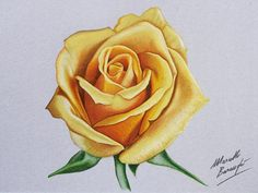 Yellow rose DRAWING by Marcello Barenghi by marcellobarenghi…. on Yellow rose DRAWING by Marcello Barenghi by marcellobarenghi…. 3d Drawings, Colorful Drawings, Pencil Drawings, Flower Drawings, Pencil Shading, Drawing Flowers, Yellow Rose Flower, Yellow Roses, Pink Roses