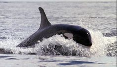 google images Whales | Killer whales love to dine on chinook salmon, which could further ...