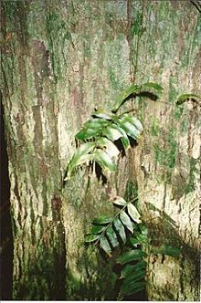 Diospyruos pentamera Mt Tamborine, Landscaping Plants, Native Plants, Landscape, Pictures, Photos, Scenery, Photo Illustration, Landscape Paintings
