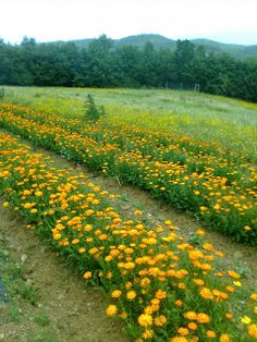 Working hard and with great passion to convey the extraordinary feeling of being immersed into a beautiful calendula field in Tuscany to you and your beloved ones http://erbeitalianskincare.blogspot.it/2014/03/the-extraordinary-feeling-of-being.html