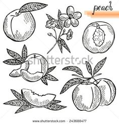 Find Cherry Sketch Fruits Vector Illustration stock images in HD and millions of other royalty-free stock photos, illustrations and vectors in the Shutterstock collection. Peach Trees, Peach Flowers, Peach Tattoo, Fruit Sketch, Fruit Tattoo, Fruit Vector, Tree Sketches, Peach Fruit, Hawaiian Quilts