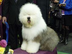 Ninety-Pound Sheepdog, Affenpinscher in Westminster Final