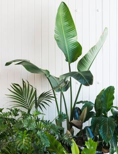 Clockwise from tall plant in centre: Strelitzia nicolai, ficus 'Black Knight', Spathiphyllum 'Sensation' (peace lily; far right), Asplenium nidus, Philodendron xanadu (far left) and Howea forsteriana (Kentia palm).