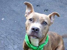 TO BE DESTROYED  Manhattan Center - P  My name is HARLEY QUINN. My Animal ID # is A1019135. I am a female br brindle pit bull mix. The shelter thinks I am about 1 YEAR 1 MONTH old.  I came in the shelter as a STRAY on 10/29/2014 from NY 10451, owner surrender reason stated was STRAY.