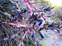 Fernando Ruz: Plantas nativas de Chile: Chagual (Puya chilensis)