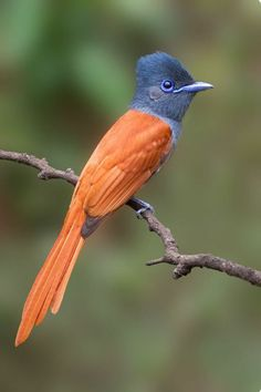 Birds in Thailand: Asian Paradise Flycatcher