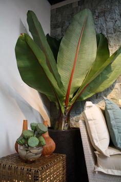 Абиссинский банан, или Энсета вздутая (Ensete ventricosum)