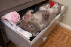 Favourite sleeping spot for Kenny the baby wombat. Photo: The Australian Reptile Park Baby Wombat, Cute Wombat, Cute Baby Animals, Animals And Pets, Funny Animals, Australian Reptile Park, The Wombats, Australia Animals, Funny Cute