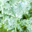 When to plant your spring (cool season) vegetable garden. Excellent article giving specifics for different plants.