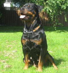 Ckc Reg English Bulldog And Rottweiler Puppies Vancouvermission