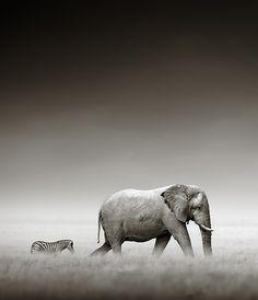 So enchanting...Elephant with Zebra by Johan Swanepoel