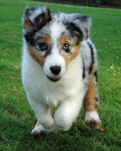australian shepherd puppies- they are so cute and so full of trouble!