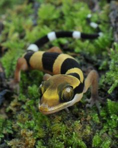 Malayan Forest Gecko (Cyrtodactylus pulchellus) by reptile street photographer, via Flickr