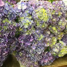 #summertime #hydrangea #purple #blue #green #dreams