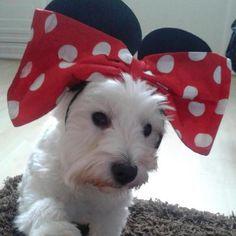 Minnie Mouse Westie - so cute