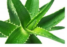 forever aloe vera gel, aloes aloe vera, forever living products