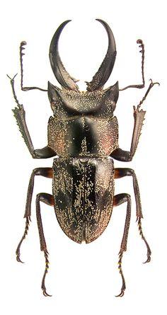 Auxicerus multicolor
