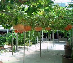 hanging pumpkins is in Taiwan. - Resultados Yahoo Search da busca de imagens