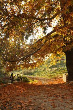... çınar ağacı..
