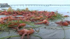 Tuna Crabs Invade San Diego Beaches by the Thousands