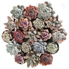 """Echeveria 'Lola' is a pastel green succulent with a hint of pinkish lavender. This succulent forms a super unique """"rosebud"""" shape that makes it a standout! Buy Succulents Online, Cacti And Succulents, Planting Succulents, Propagate Succulents, Paper Succulents, Succulent Arrangements, Echeveria, Suculentas Diy, Carnivore"""