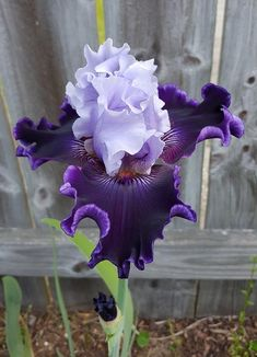 Garden Landscaping Porches Michael Williams to Iris Lovers 16 hrs Wicked Good (Paul Black)--this really blew my mind when it opened. Purple Flowers, Plants, Amazing Flowers, Beautiful Flowers, Iris Flowers, Orchids, Iris Garden, Love Flowers, Trees To Plant