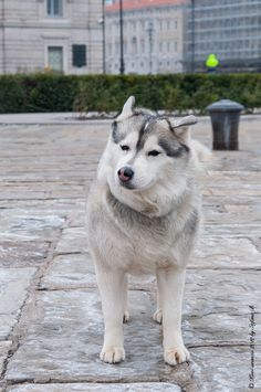 Husky on a winter day by Stefano Bubbi, via 500px