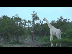 White giraffe - YouTube