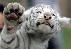 Baby white tiger high five! Yes, pleaseee!