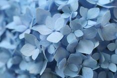 Hydrangea Love & Camera Color Quirks - Creativity for the Soul