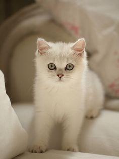 princess white Persian baby kitten