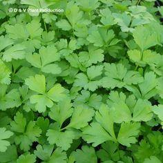 Petroselinum crispum 'Italian' - platte peterselie - Kruiden   Maréchal