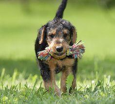 Google-Ergebnis für http://www.tierfotograf.com/media/600-600-67699-0-0/033274_airedale-terrier-welpe.jpg