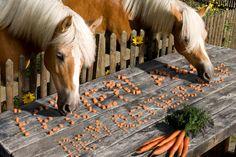 '2 Pferde fressen Karotten' aus dem Reiseblog 'Reiterferien in Ostfriesland mit einer Ferienwohnung verbinden'