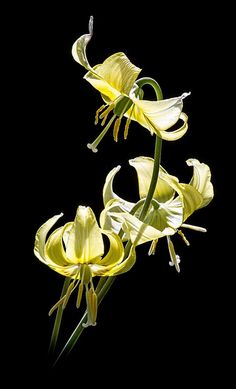 Dogs Tooth Violet