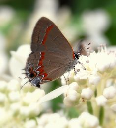 Gray hairstreak butterfly (Strymon melinus) Host Plants: Cotton, mallows, strawberry, legumes, mints Nectar plants: Yarrow, meadow and edge flowers