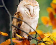Sweet Sleepy Owl