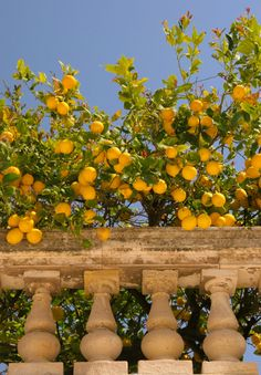 ***Lemon tree (Sicily, Italy) by forestlake