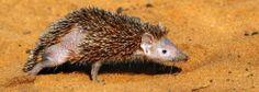 Lesser Hedgehog Tenrec by Glen Valentine