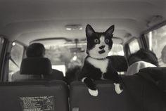 彼にはシークレットサービスがついていて、退屈したときはいつでもドライブに連れ出してくれた。 | クリントン家のネコ、ソックスが史上最高の猫だった15の理由
