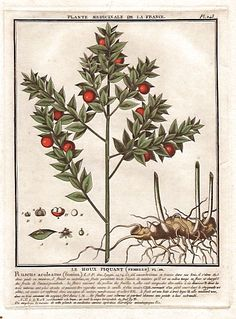 Sweet broom or Jew's myrtle (Ruscus aculeatus). Le fragon faux houx, houx piquant.. . French botanist Jean Baptiste François Pierre Bulliard was born around 1742 at Aubepierre-en-Barrois (Haute Marne) and died on 26 September 1793 in Paris.