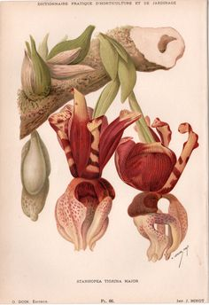 Antique Botanical Print Orchid Illustration by AntiquePrintGarden