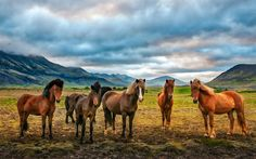 Download wallpapers horse, mountains, herd of horses, wildlife, green field