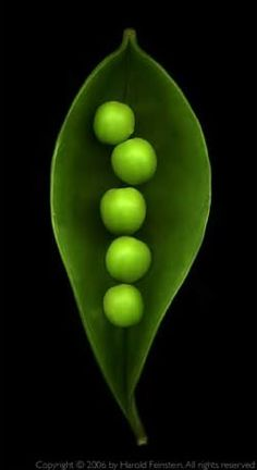 Colors ~ Black, Green ~ Peas in a Pod - the first seeds planted each year World Of Color, Color Of Life, Terra Verde, Fotografia Macro, In Natura, Green Peas, Seed Pods, Belle Photo, Shades Of Green