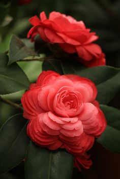Beauty Rendezvous- Beauty Rendezvous Stunning ruffled eye-catching red flowers of the Camellia contrast beautifully with the evergreen foliage!